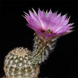 Echinocereus reichenbachii caespitosus, Abilene, 25 Seeds