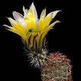 Echinocereus dasyacanthus, Sta. Elena, 100 Korn