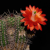 Echinocereus spec., PG302, 100 Seeds