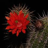 Echinocereus ortegae, Santa Ana, 100 Seeds