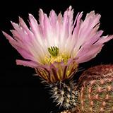 Echinocereus pectinatus, Jiminez, 25 Korn