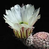 Echinocereus pectinatus, Detras, white flower, 25 Seeds ***