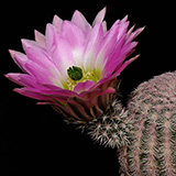 Echinocereus pectinatus, Villa Insurgentes, 100 Korn