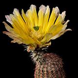 Echinocereus pectinatus rutowiorum, Cusihuiriachic, 100 Seeds