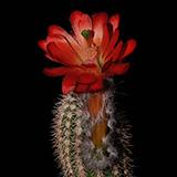 Echinocereus huitcholensis plomosos, Mexico, Sinaloa, 50 Seeds