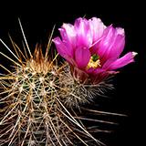 Echinocereus engelmannii, Tom Mix Wash, 25 Seeds