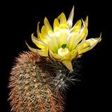 Echinocereus dasyacanthus, Lajitas, 25 Korn