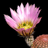 Echinocereus pectinatus, La Tapona, 25 Seeds
