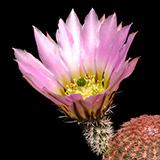 Echinocereus pectinatus, La Tapona, 25 Korn