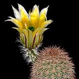 Echinocereus dasyacanthus, Los Muertes, 100 Seeds