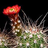 Echinocereus pacificus, Agua Caliente, 25 Korn
