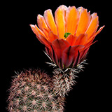 Echinocereus dasyacanthus, Pecos Co., 100 Seeds