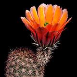 Echinocereus dasyacanthus, Pecos Co., 25 Korn