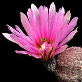 Echinocereus pectinatus, Guadelupe, 25 Korn