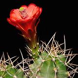 Echinocereus mojavensis, Monte Vista, 25 Korn