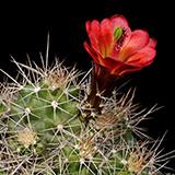 Echinocereus mojavensis, De Beque, 100 Seeds