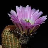 Echinocereus pectinatus, El Sauz, 25 Korn
