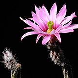 Echinocereus poselgeri gerhardii, Nuevo Leon, 25 Korn