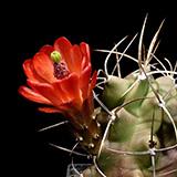 Echinocereus triglochidiatus, San Ysidro, 25 Seeds