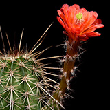 Echinocereus acifer tubiflorus, Zacatecas, 100 Seeds