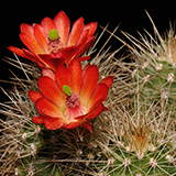 Echinocereus coccineus, New Mexico, 100 Seeds