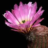 Echinocereus pectinatus, Pipila, 25 Korn