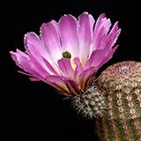 Echinocereus pectinatus, Las Boquillas, 25 Seeds