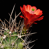 Echinocereus triglochidiatus gonacanthus, La Luz, 100 Seeds