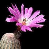 Echinocereus rigidissimus, Agua Salada, 25 Seeds