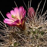 Echinocereus mojavensis, Flagstaff - Page, 100 Seeds