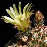 Echinocereus viridiflorus, Fremont Co, 25 Seeds