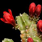 Echinocereus mojavensis inermis, Utah, 25 Korn