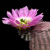 Echinocereus pectinatus, La India, 25 Korn