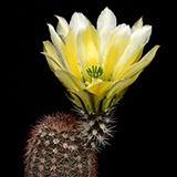 Echinocereus dasyacanthus, Otero Co., 25 Korn