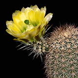 Echinocereus dasyacanthus, CR117, 100 Seeds