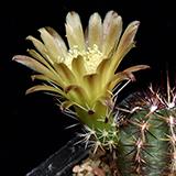 Echinocereus viridiflorus, Las Animas Co., JRT139, 25 Seeds