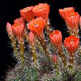 Echinocereus salm-dyckianus, Creel - Divisadero, 25 Seeds