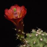 Echinocereus mojavensis inermis, San Juan Co., 25 Seeds