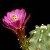 Echinocereus mojavensis inermis, Moab, 25 Seeds